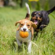 Two dogs chasing a ball — Stock Photo #59688425