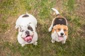 Bulldog and Beagle dog waiting for reward — ストック写真
