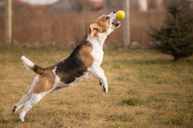 Beagle dog catching ball in jump