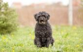 Hungarian shepherd Puli outdoor portrait — Stock Photo