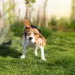 Funny Beagle dog shaking his head — Stock Photo #70531845