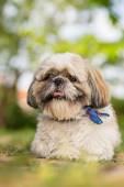 Shih Tzu dog portrait in garden — Stock Photo