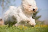 Coton de Tulear dog in action — Stock Photo