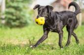 Adopted Black Mixed breed dog playing with football ball — Stock Photo