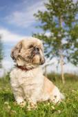Cute funny shih tzu breed dog outdoors in a park — Stock Photo