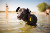 黑色的混的种狗在水的肖像 — 图库照片