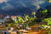 Beauty of plum and tea plantations in Spring. — Stock Photo