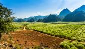 Beauty of plum and tea plantations in Spring. — Zdjęcie stockowe