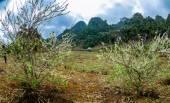 Moc Chau Plateau, Wietnam - 5 lutego 2014 - śliwka plantacji wczesną wiosną. — Zdjęcie stockowe