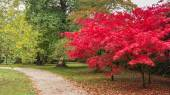 Japanese maple tree in a park in Cambridge United Kingdom — Stock Photo