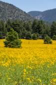 Farmfield with yellow flowers — Stock Photo