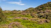 Dunes landscape with blooming heather — Stock Photo