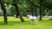 Lipizzaner horses in the meadow — Stockfoto