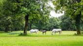 Lipizzaner horses in the meadow — Stock Photo