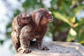 The common marmoset (Callithrix jacchus) White-eared female monk — Stock Photo