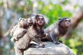 The common marmoset (Callithrix jacchus) White-eared monkey fami — Stock Photo