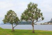 Common screwpine (Pandanus utilis) pine monocot tree near water  — Foto Stock