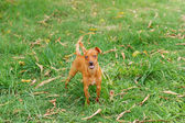 Happy puppy of Miniature Pinscher and pooch playing on green grass in yard with moving tail — Stock Photo