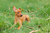 Puppy of Miniature Pinscher and pooch playing on green grass in  — Stock Photo