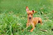 Funny puppy of Miniature Pinscher and pooch playing on green gra — Stock Photo