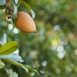 Fruit of Manilkara zapota, sapodilla tree — Stock Photo #77568998
