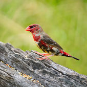 Juvenile male Red Avadavat — Photo