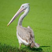 Spot-billed Pelican — Stock Photo