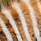 Common Zebra skin — Stock Photo