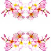 Pink Plumeria — Stock Photo