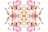 Blossom pink Plumeria flower — Stockfoto