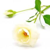 Yellow roses on white — Stock Photo