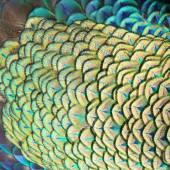 绿孔雀的羽毛 — 图库照片