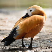 Brown Ruddy Shelduck — ストック写真