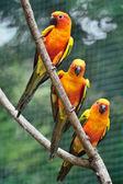 Colorful Sun Conures — Stock Photo