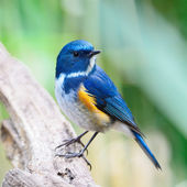 Male Himalayan Bluetail — Stock Photo