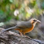 Rusty-cheeked Scimitar-babbler — Stock Photo