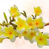 Yellow plumeria with bokeh — Stock Photo