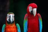 Greenwinged Macaw and Harlequin Macaw — Stock Photo