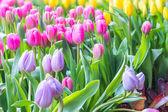 Tulip closeup — Stock Photo