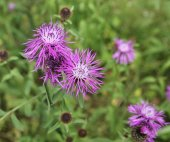 Close-up of flowers cornflower — Stock Photo