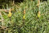 Male cones of pine tree — Stock Photo