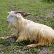 Male goat with curved horns lying down — Stock Photo #58811659