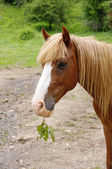 Portrait of brown horse with twig — Stock Photo