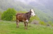 Young cow on mountain meadow  — Stock Photo