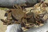Real fishing crabs — Stock Photo