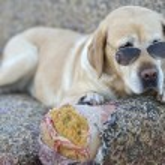 Nice Labrador retriever with sunglasses — Stock Photo #52870531