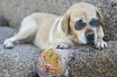 Nice Labrador retriever with sunglasses — ストック写真