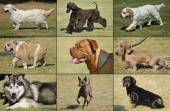 Breeds of dogs — Stock Photo