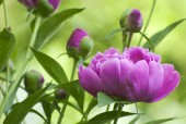 Georgeous peony in a full bloom — Stock Photo