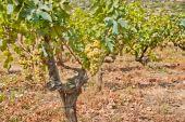 Vineyard on Vis Island, Croatia — Stock Photo